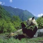 Los Santuarios del panda gigante de Sichuan
