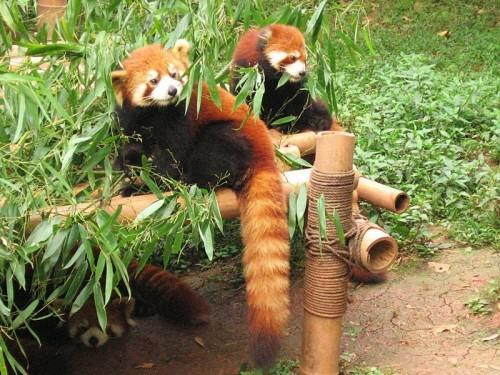 Centro para la protecci n de los pandas gigantes - Reproduccion del bambu ...