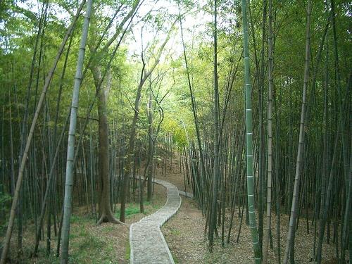 Bosque de bambu de China