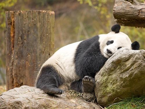Desfiladero Bifeng, nuevo hogar de los pandas