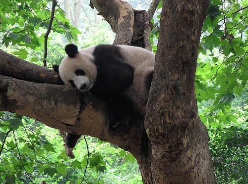 Pandas gigantes chinos