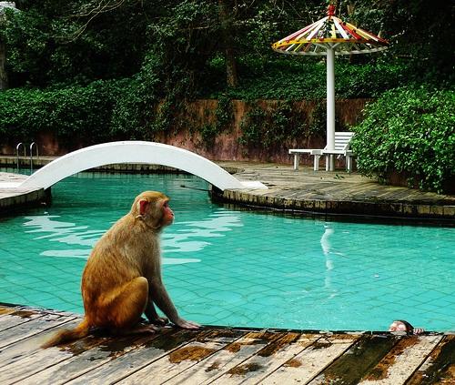 Monos nadando en Nanwan
