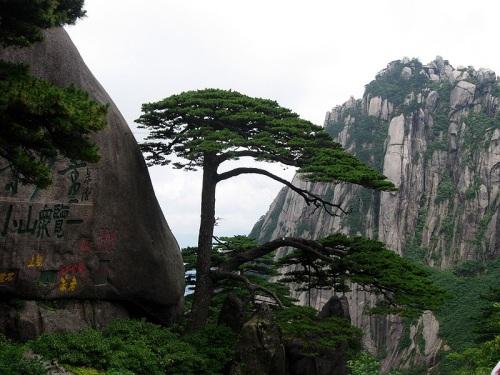 Pino de bienvenida en Huangshan