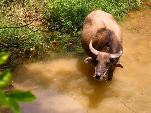 Bufalo de Agua en Yangdi