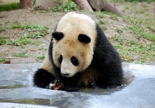 Zoo de Shangai